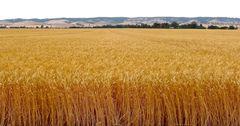 В Кыргызстане собрали на 42.1% меньше пшеницы, чем годом ранее