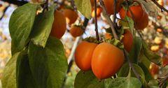 Казахстан снял запрет на поставки картофеля, яблок и хурмы из КР