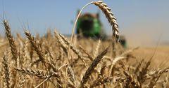 В КР намерены импортировать пшеницу из России