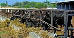 Кыргызстану предоставили очередную внешнюю помощь – 54 дойных коровы