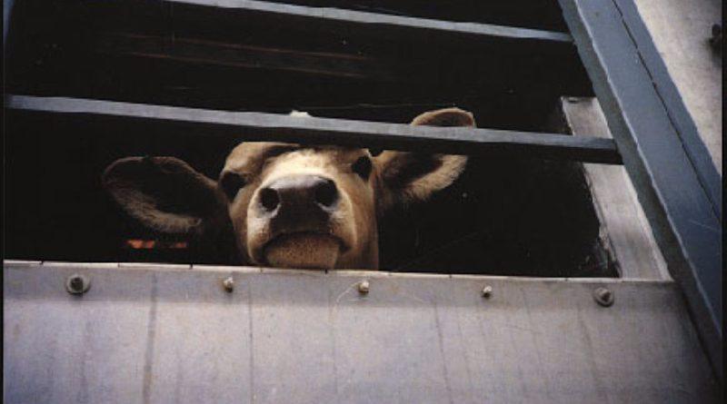 Мясо в КР дорожает из-за его экспорта в РУз
