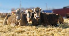 Впервые за 30 лет в Кыргызстан доставили уникальную породу крупного рогатого скота
