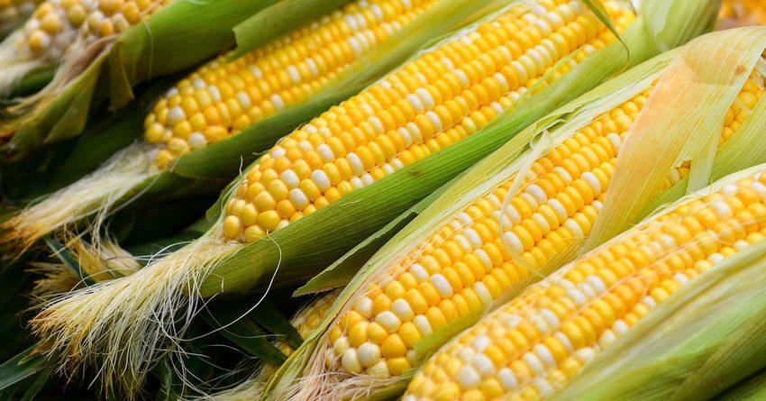В Джети-Огузе планируют засеять кукурузой 100 гектаров