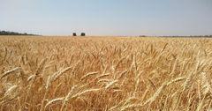 ВПП ООН закупила пшеницу у более 100 фермеров КР