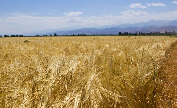 Урожайность сельхозкультур КР достигла высоких показателей
