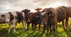 В Узбекистан начаты поставки крупного и мелкого скота