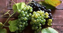 В Россию не пропустили 17 тонн винограда из Кыргызстана