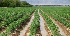 Таласская область готова обновить сорт фасоли (видео)