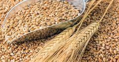 Госматрезерв закупит зерно у местных предпринимателей на 411 млн сомов