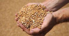 В КР урожайность зерна превысила показатели прошлого года на 15%