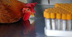 В семи районах Северо-Казахстанской области выявлен птичий грипп