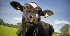 Всемирный банк выделил $5 млн на улучшение производительности молочного сектора Кыргызстана