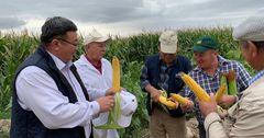 Урожайность кукурузы составит 11-12 тонн с гектара