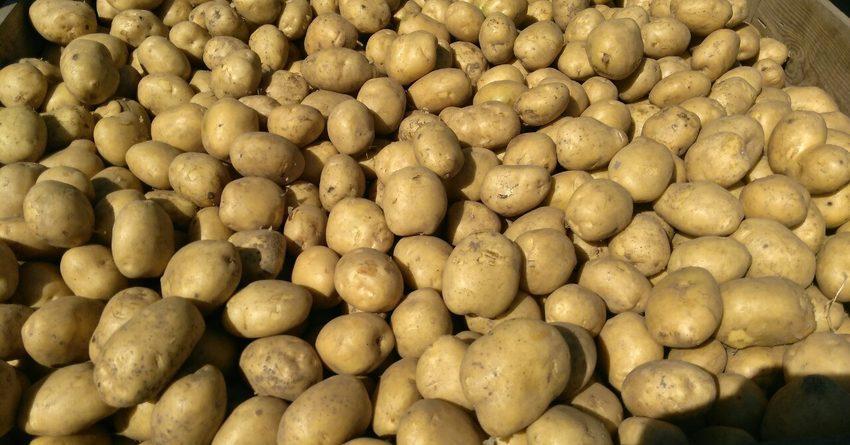 В КР собрано более 317 тысяч тонн картофеля