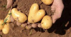 Бишкекте орточо эмгек акыга 700 кг картошка сатып алса болот