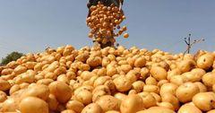 Пробную партию кыргызского картофеля отправили в Ташкент